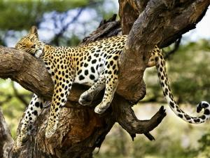 leopard-in-tree-5