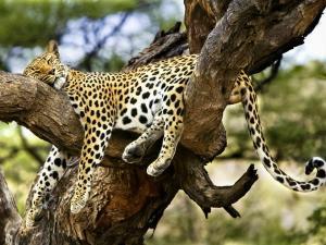 leopard-in-tree-5
